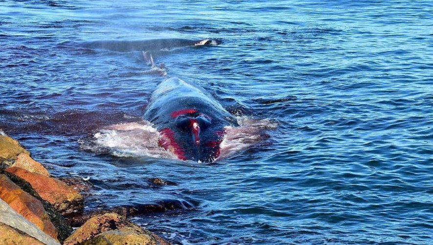 Baleines mutilées en Méditerranée : Lagarde veut en finir en baissant la vitesse des navires